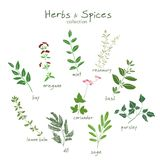 Herbs and spices hand drawn set. Herbs and spices vector collection. Fresh condiments vector illustration  on white background Royalty Free Stock Photo