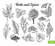 Herbs and Spices. Hand drawn vector illustration set. Engraved style flavor and condiment drawing. Botanical vintage. Food sketches. Mint, oregano, caraway stock illustration