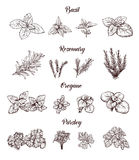 Herbs and spices set. Engraving illustrations for tags. Royalty Free Stock Photos