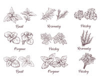 Herbs and spices set. Engraving illustrations for tags. Stock Photos