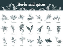 Herbs and spices set. Hand drawn officinale medicinal plants. Or. Ganic healing wild flowers. Vector botanical illustrations. Engraving floral sketches Royalty Free Stock Image
