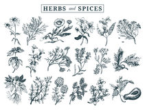 Herbs and spices set. Hand drawn officinalis, medicinal, cosmetic plants. Botanical illustrations for tags. cards etc. Herbs and spices set. Hand drawn stock illustration