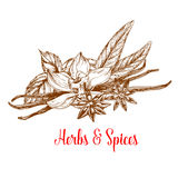 Herbs and spices sketch with mint, vanilla, anise Royalty Free Stock Image
