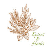 Herbs and spices sketch vector condiments. Condiments herbs and herb spices sketch of tarragon or rosemary, basil or thyme, savory, mint and bay leaf. Bunch of Stock Image
