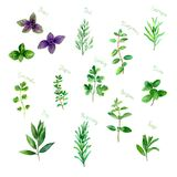 Herbs spices watercolor green fresh set on white stock illustration