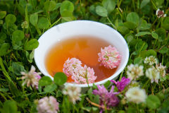 Herbs tea  from clover. Herbal Medicine. Royalty Free Stock Image