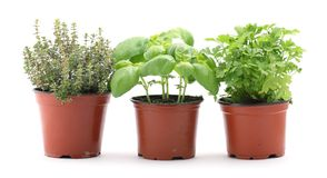 Herbs. Thyme, basil and parsley in planting pots on white background royalty free stock photos