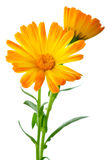 Herbs: Two calendula flowers royalty free stock image