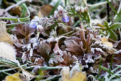 Herbs under hoarfrost Royalty Free Stock Photography