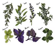 Herbs 1 royalty free illustration