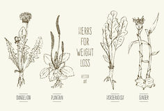 Herbs for weight loss Stock Images