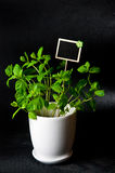 Herbs in white pot on black background Mint. Food and culinary ingredients, green herbs in white pot on black background. Whole series with sebczseries924 stock photos