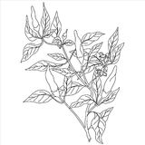 0416_44  Herbs and Wild Flower. Chili peppers  bush With Leaves vector black hand drawn illustration. Contour outline style. It can be used for package in Stock Images