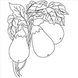 0416_43  Herbs and Wild Flower. Eggplants With Leaves, vector black hand drawn illustration. Vegetable cartoon illustration Royalty Free Stock Images