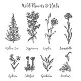 Herbs and Wild Flowers. Vector drawing set. Isolated meadow plants and leaves. Vintage flower. Floral illustration in. Engraved style Stock Illustration