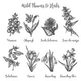 Herbs and Wild Flowers. Vector drawing set. Isolated meadow plants and leaves. Vintage flower. Floral illustration in. Engraved style Royalty Free Illustration