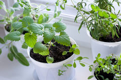 Herbs on the window royalty free stock images