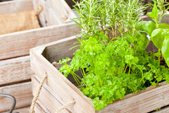 Herbs in wooden box Royalty Free Stock Image