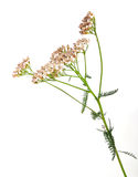 Herbs yarrow flowers Stock Photos