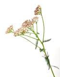 Herbs yarrow flowers Stock Photos