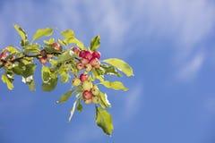 Herbstäpfel gegen den blauen Himmel in Finnland Lizenzfreies Stockbild