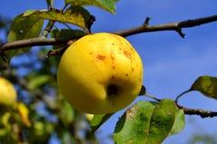 Herbst-Äpfel auf einem Zweig Stockfotografie