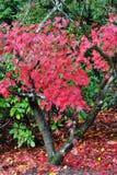 Herbst-Ahornblätter Stockfoto