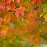 Herbst-Ahornblätter, die vom Baum hängen Stockbilder