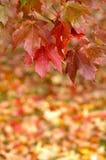 Herbst-Ahornblätter, die vom Baum hängen Stockfoto