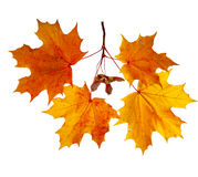 Herbst-Ahornblätter getrennt auf weißem Hintergrund Lizenzfreie Stockfotografie