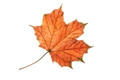 Herbst-Ahornblatt. Lizenzfreie Stockfotos
