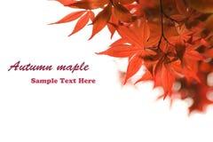 Herbst-Ahornblatt Stockfotos