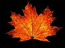 Herbst-Ahornblatt auf schwarzem Hintergrund Lizenzfreie Stockfotos