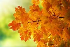 Herbst-Ahornblatthintergrund Lizenzfreies Stockfoto