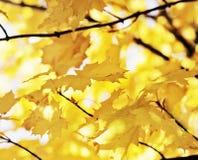 Herbst-Ahornholz Stockbild