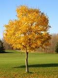 Herbst-Ahornholz-Baum stockfotografie
