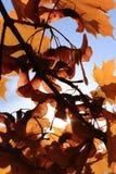 Herbst-Ahornholz-Zweige und Blätter Lizenzfreies Stockfoto