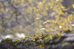 Herbst Ansicht eines moosbedeckten Klotzes gegen den Hintergrund eines Herbstwaldes stockfotografie