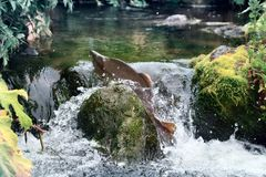 Herbst auf dem Laichen von Flüssen (Laichen laufen gelassen) lizenzfreie stockfotografie
