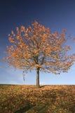 Herbst-Baum Stockfotografie