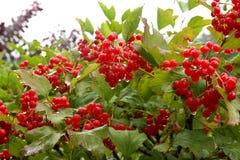Herbst-Beeren Lizenzfreie Stockbilder