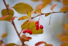 Herbst Berberitzenbeerbusch Stockfoto