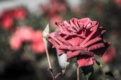 Herbst beträgt nicht die Zeit für Rosen lizenzfreies stockfoto