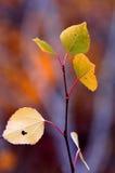 Herbst-Birken-Blätter mit unscharfen Fall-Farben Lizenzfreies Stockbild
