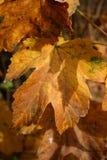 Herbst-Blätter Lizenzfreie Stockfotografie