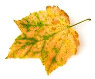 Herbst-Blatt Stockbilder