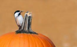 Herbst Chickadee. Lizenzfreies Stockfoto