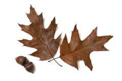 Herbst-Eiche Lizenzfreie Stockbilder