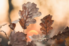 Herbst-Eichen-Blätter am Sonnenuntergang Stockfotografie