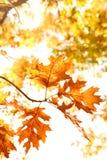 Herbst-Eichenblätter Stockfoto